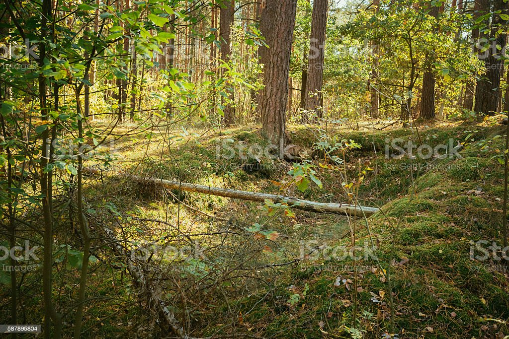 Old World War Trenches Forest Since Second World War, Belarus stock photo