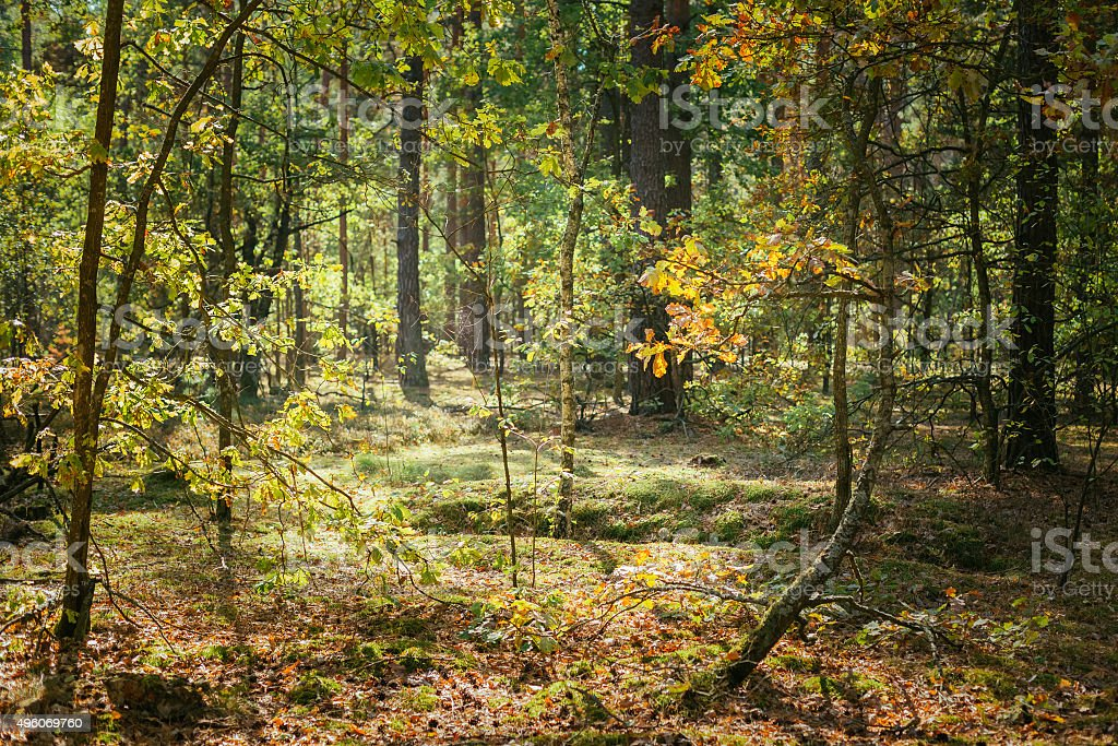 Old World War Trenches In Forest Since Second World War stock photo