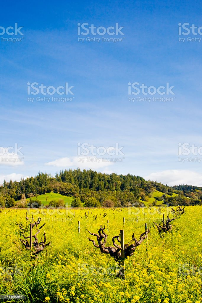 Old Zinfandel Vineyard in Northern California, Spring Mustard royalty-free stock photo