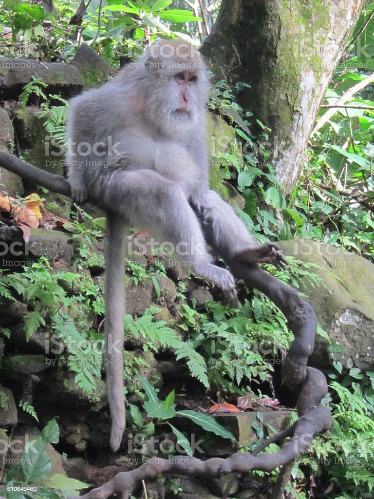 Older Balinese long-tailed monkey looks on in thought stock photo