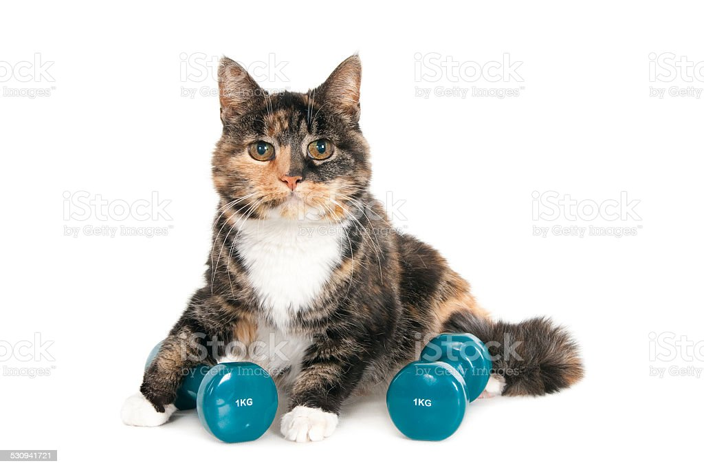 Older cat with two dumbbells of 1 kg stock photo