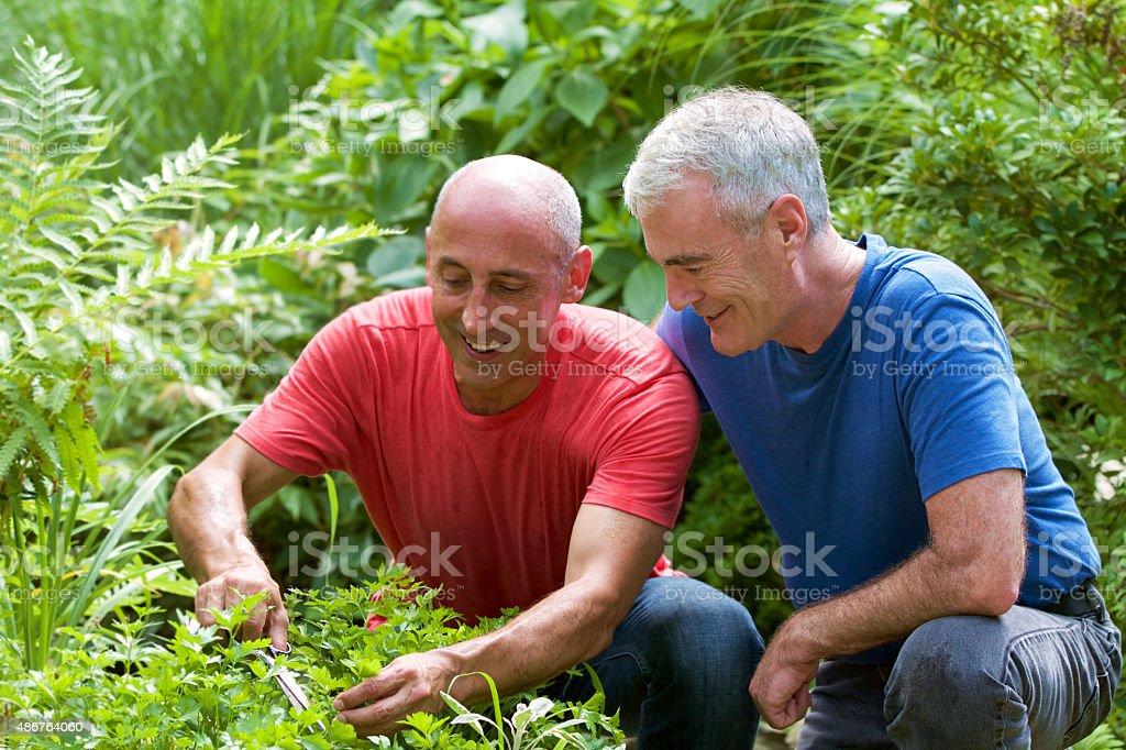 Older, mature, senior gay male couple gardening in herb garden stock photo