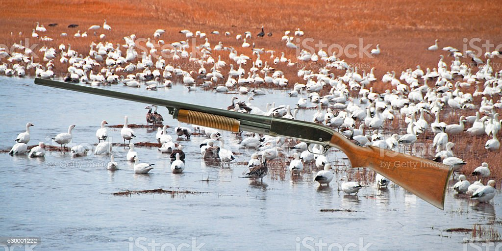 Older pump shotgun with snow geese in the background stock photo