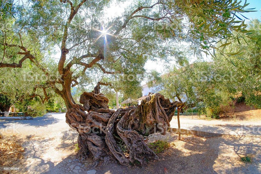 Oldest Olive tree in Zakynthos. 2000 year old olive tree stock photo
