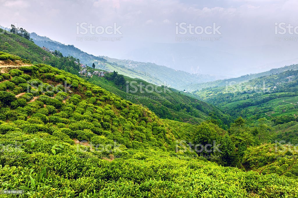 Oldest tea plantation Happy Valley Tea Estate inDarjeeling, India stock photo