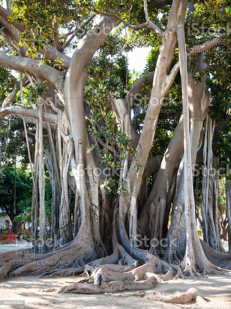 oldest tree in Palermo city in Giardino Garibaldi stock photo