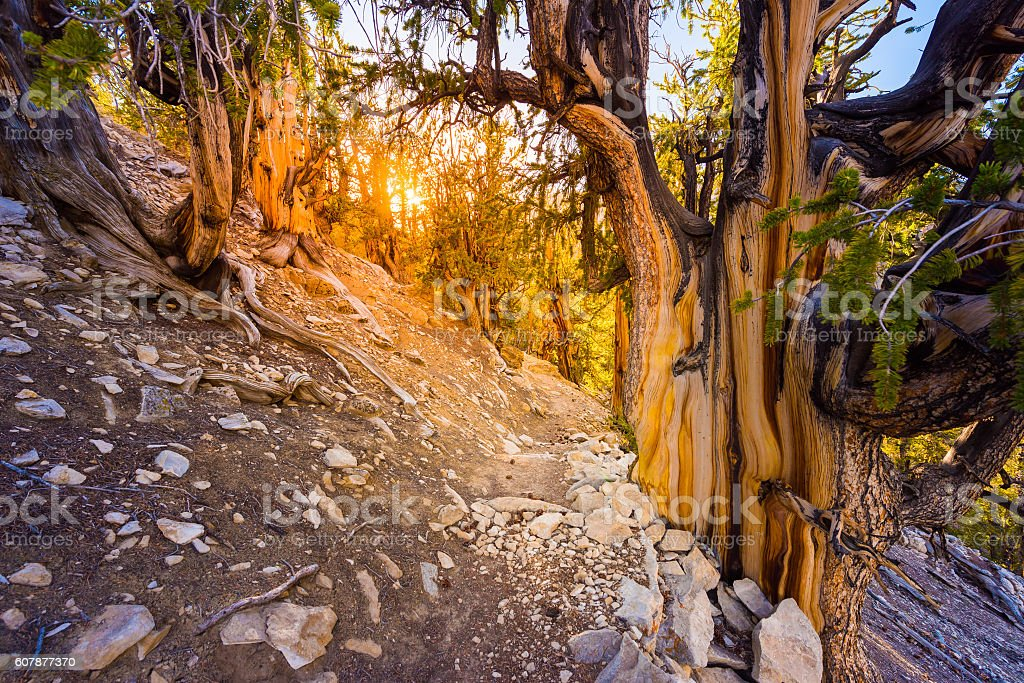 Oldest Trees On Earth California stock photo