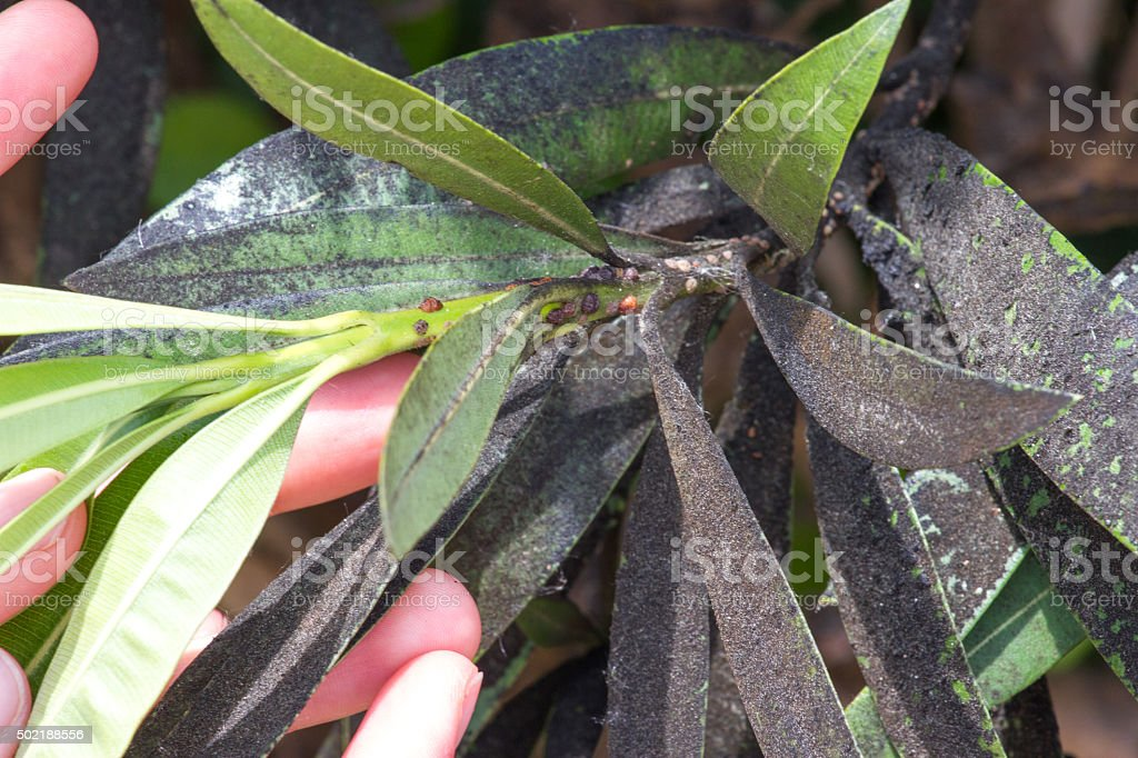 Oleander aphid struck. Plant insect infestation stock photo