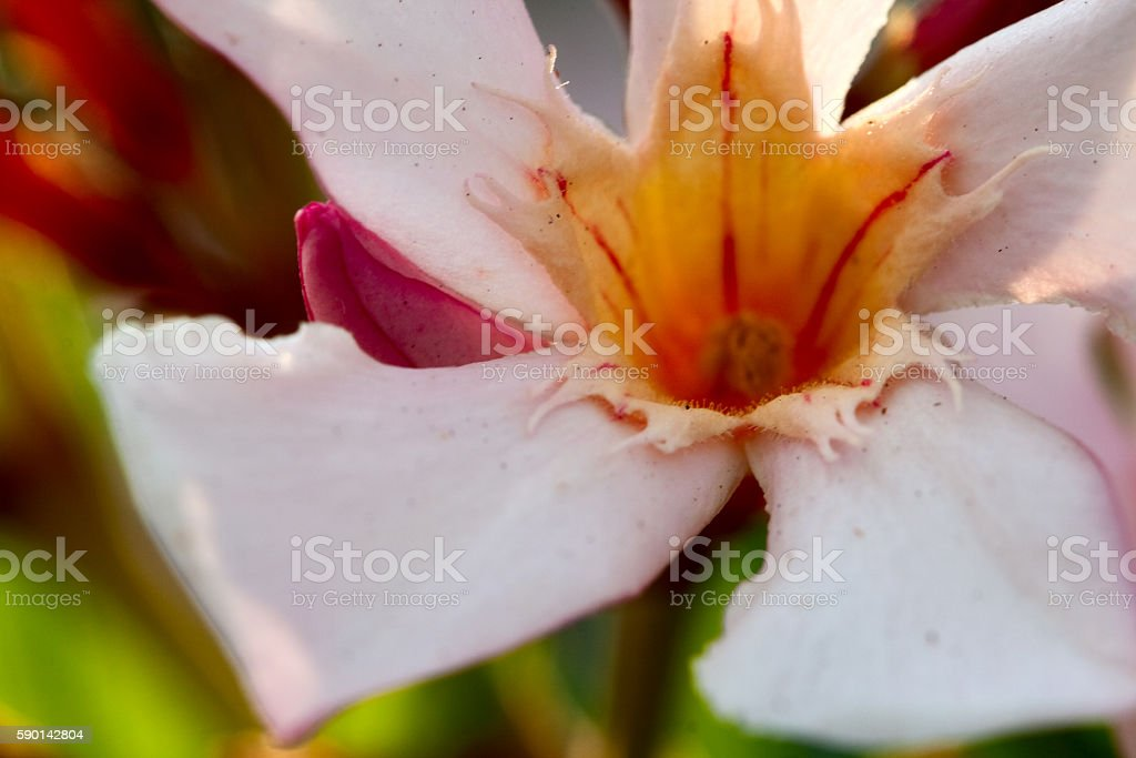 Oleander Blossom royalty-free stock photo