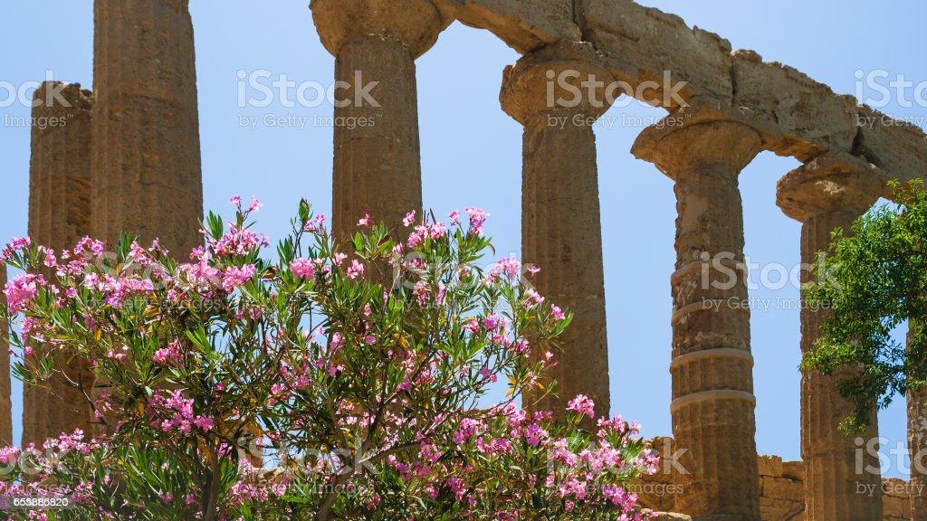 oleander bush and column Temple of Juno in Sicily stock photo