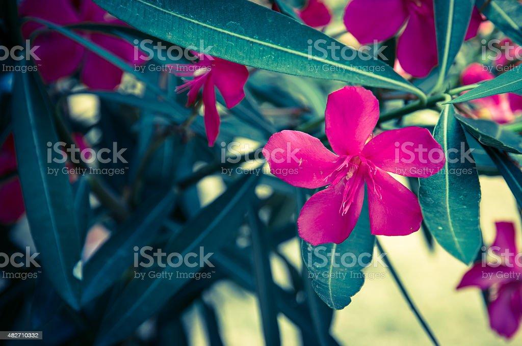 oleander flower stock photo