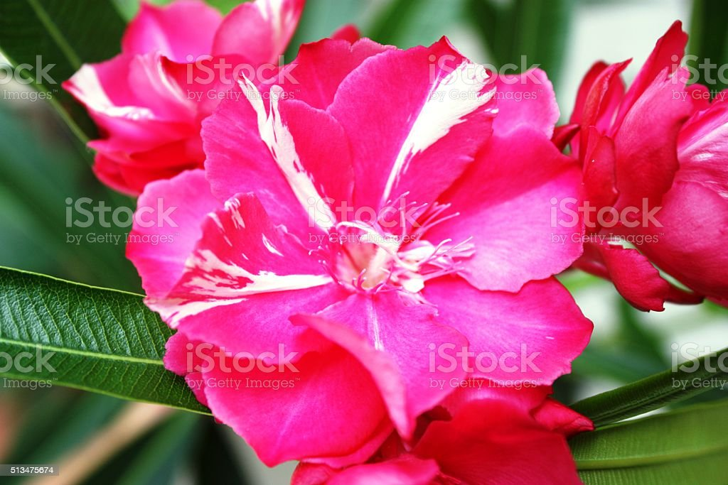 Oleander flowers striped red white stock photo