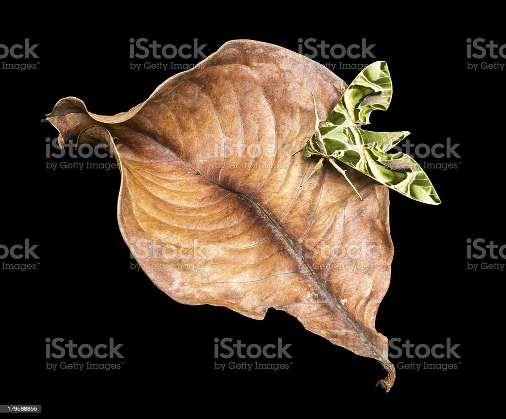 Oleander Hawk-moth stock photo