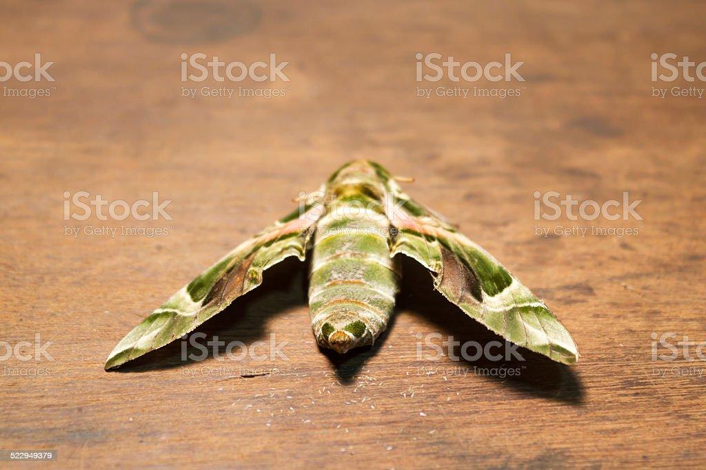 Oleander Hawk-moth. stock photo