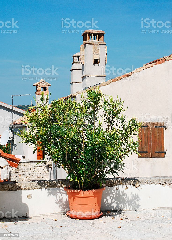Oleander in Pican stock photo