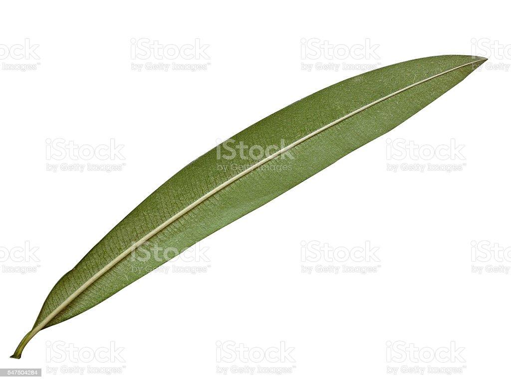 oleander leaf isolated background stock photo
