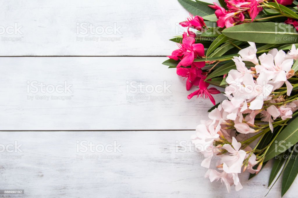 Oleander on rustic  white wooden background with empty space stock photo