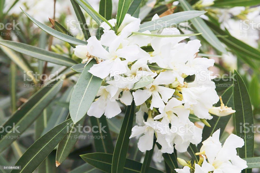 Oleander (Nerium oleander) stock photo
