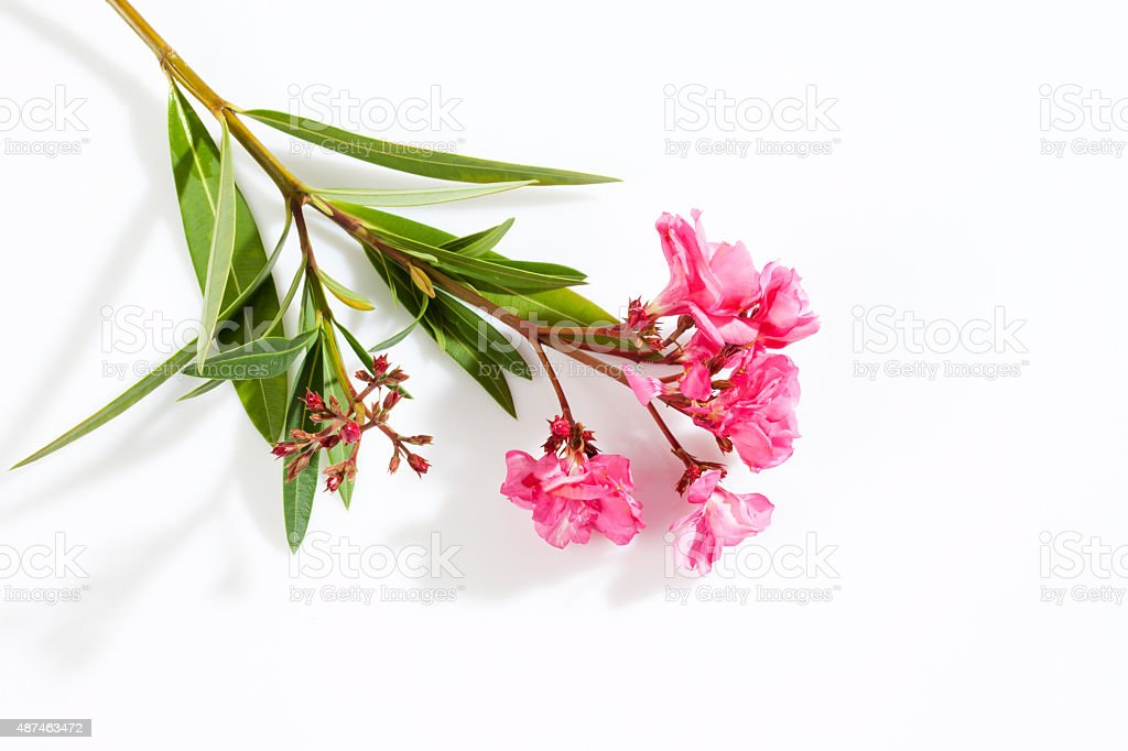Oleander, pink blossoms, white background stock photo
