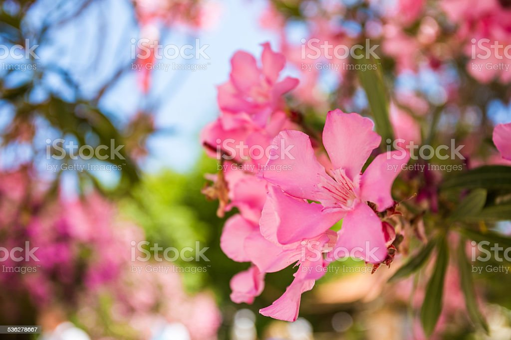 Oleander rose bay flower stock photo