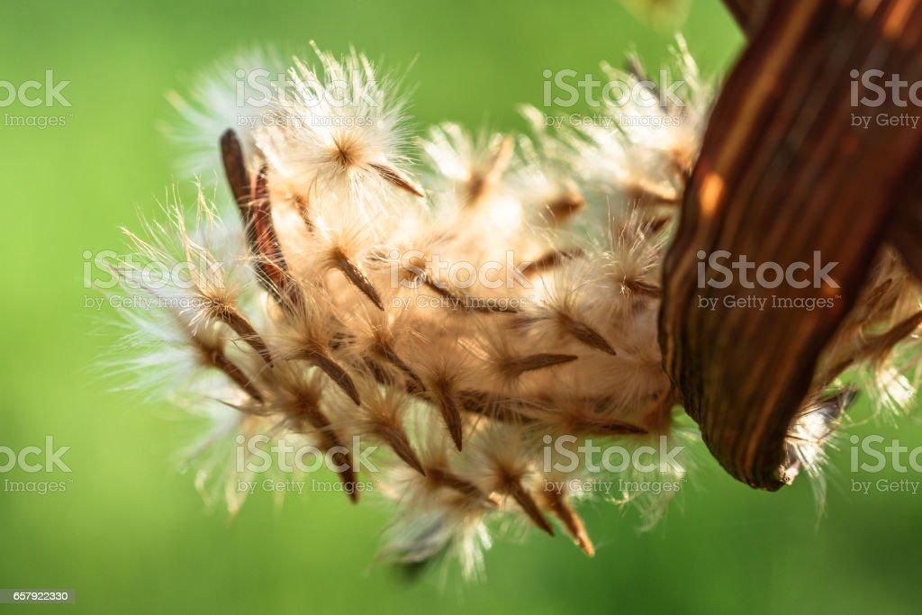 oleander seeds in backlight stock photo