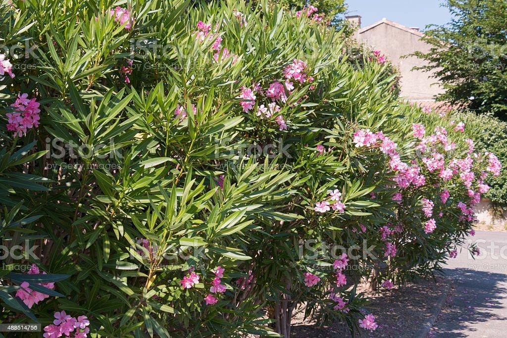 Oleander shrubs along the road stock photo