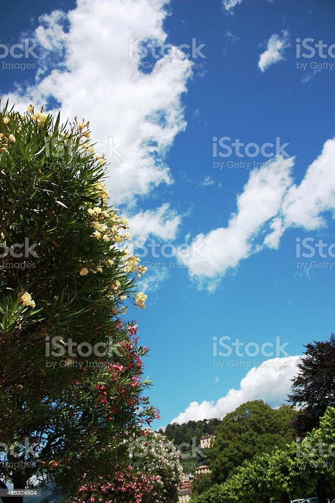 Oleander trees in Bellagio on the shores of Lake Como stock photo