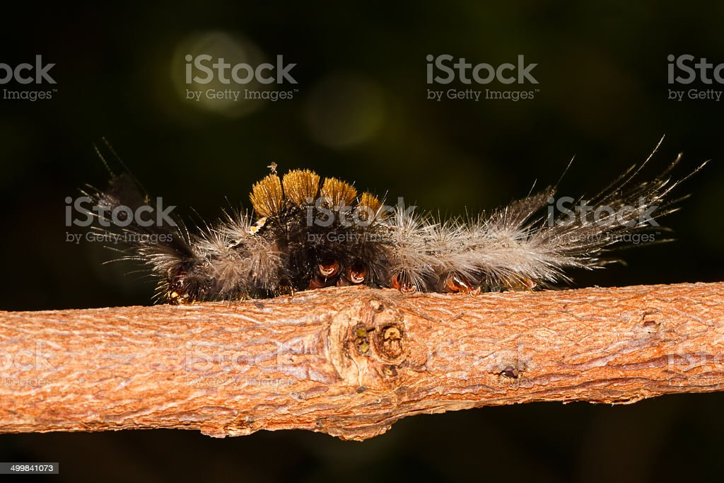Olene mendosa caterpillar stock photo