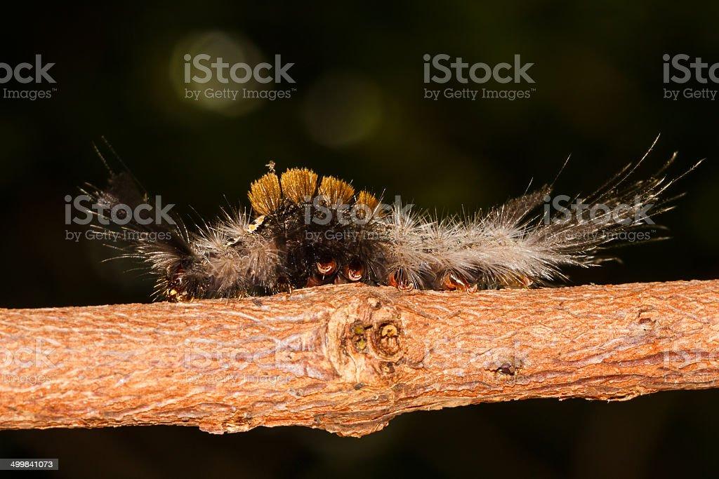Olene mendosa caterpillar stock photo