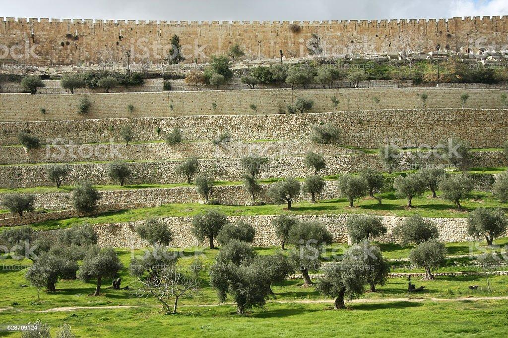 Oliva in Kidron Valley stock photo