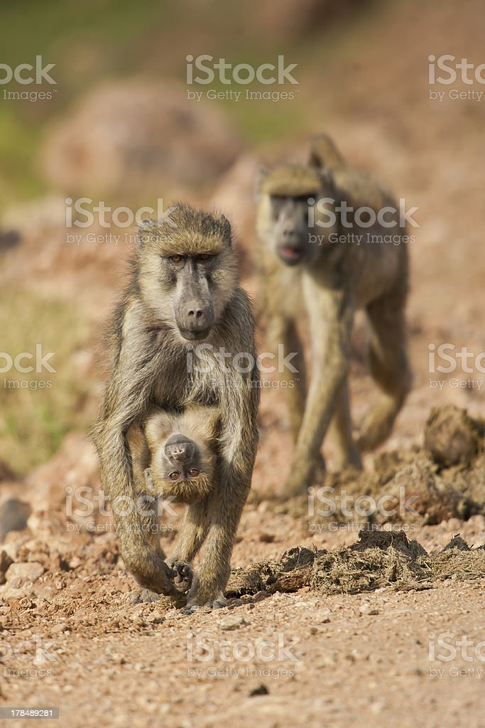 Olive Baboon carrying its Cub royalty-free stock photo