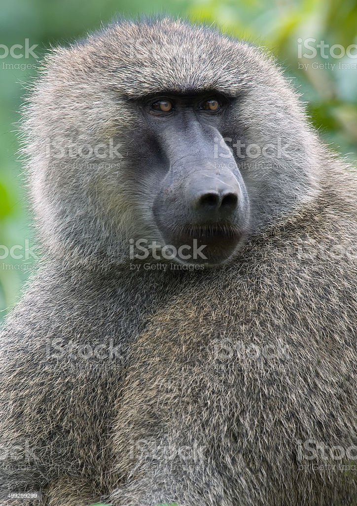 Olive Baboon stock photo