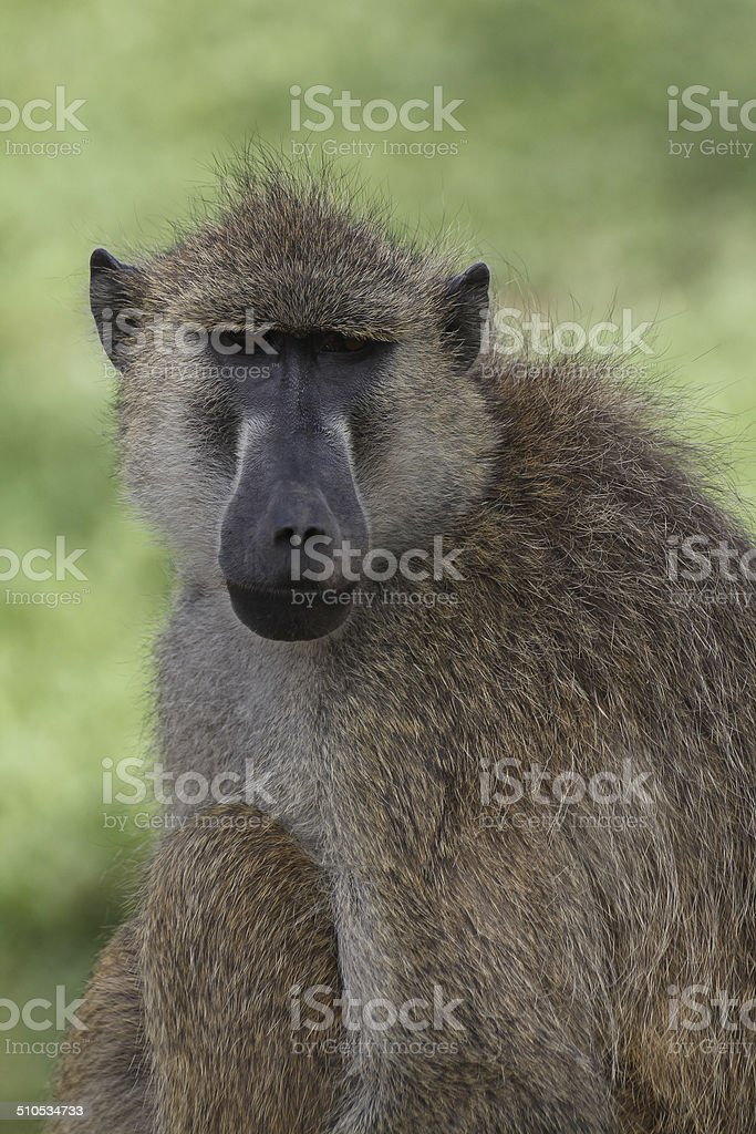 Olive baboon royalty-free stock photo