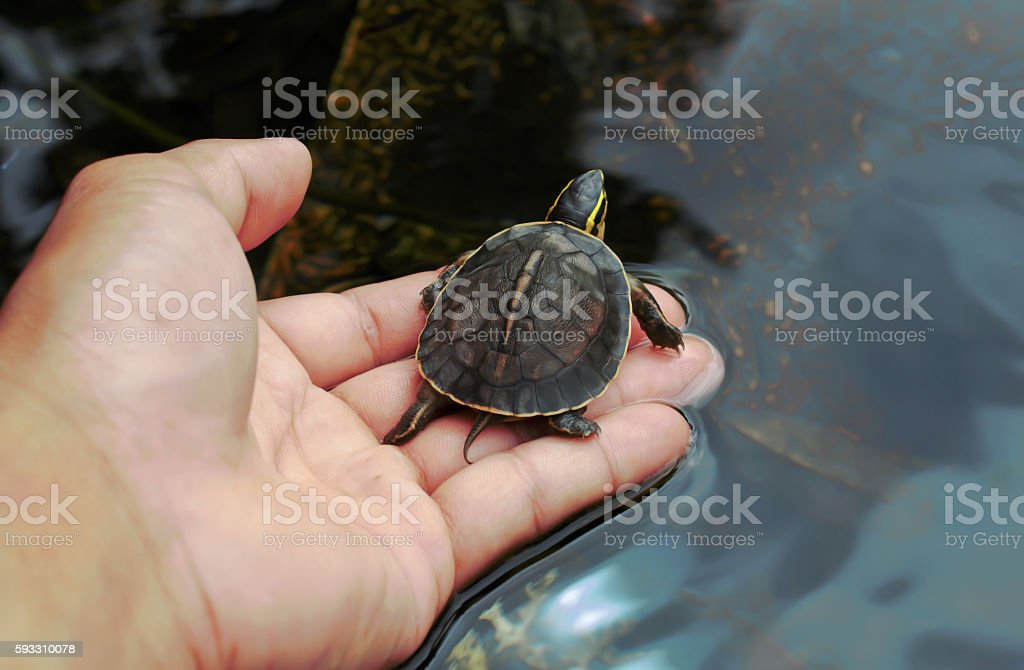 Olive baby turtle in human hand, Small turtle Hand holding newly hatched baby turtle stock photo