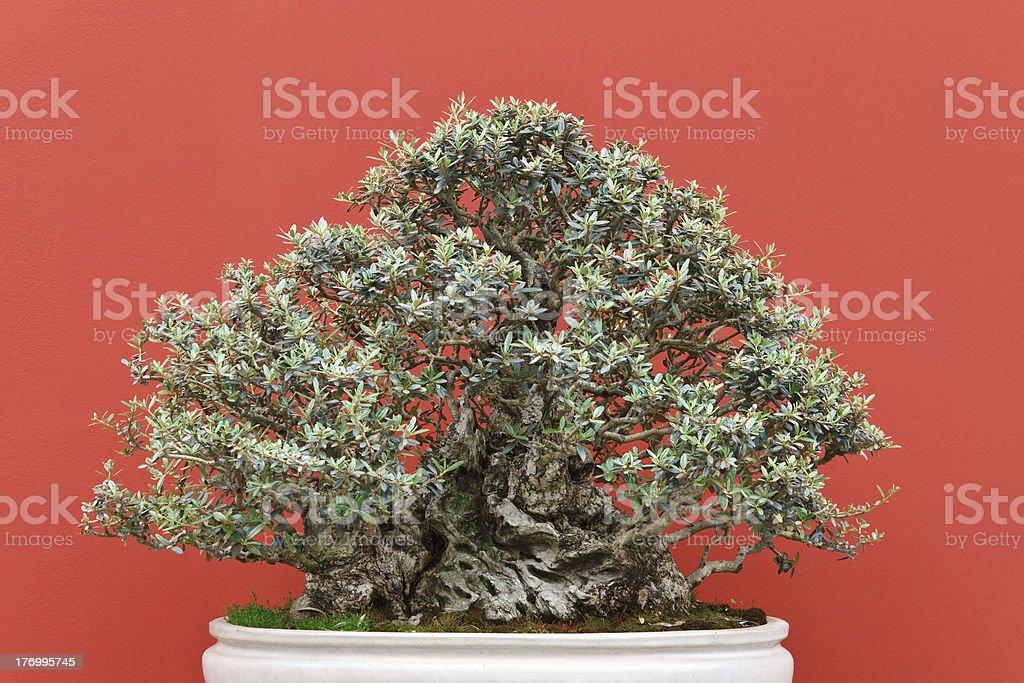 olive bonsai tree royalty-free stock photo