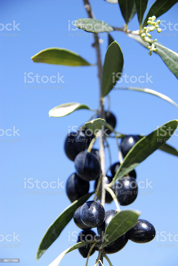 olive branch against blue sky royalty-free stock photo