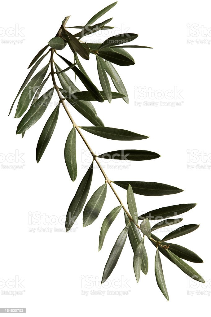 Olive branch against white background stock photo