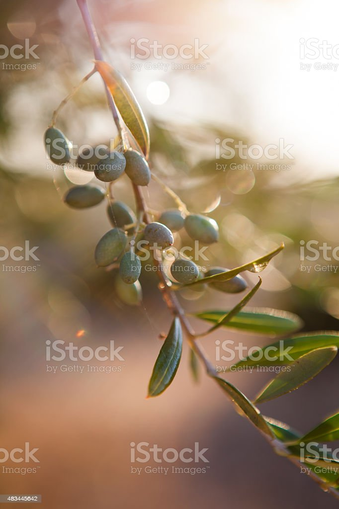 Olive Branch at Sunset stock photo