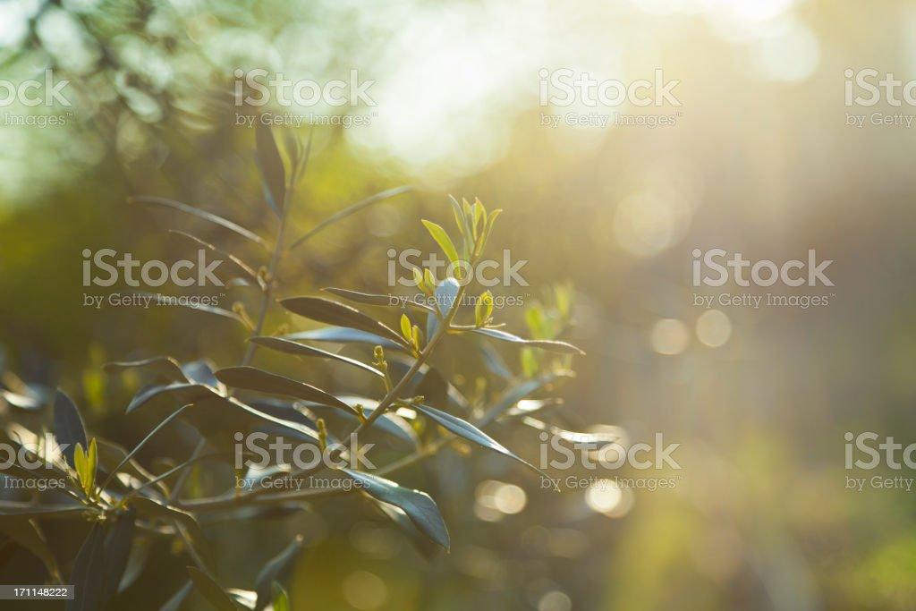 Olive branch background stock photo