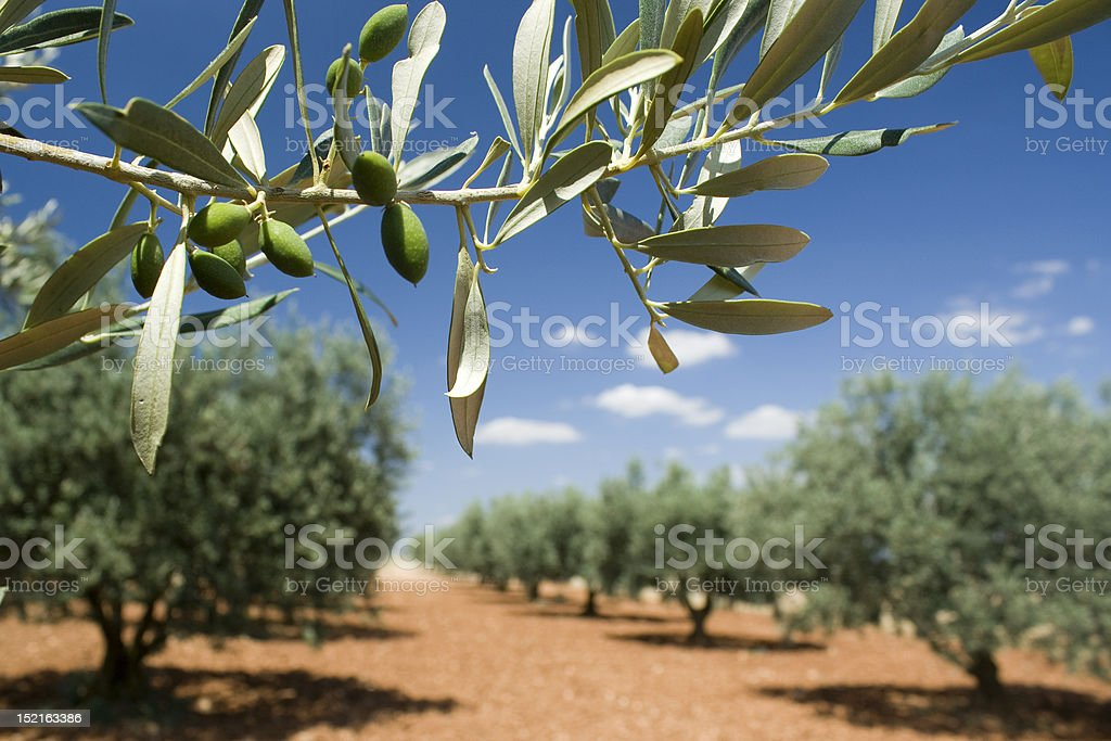 Olive Branch in a grove. Provence, France. stock photo