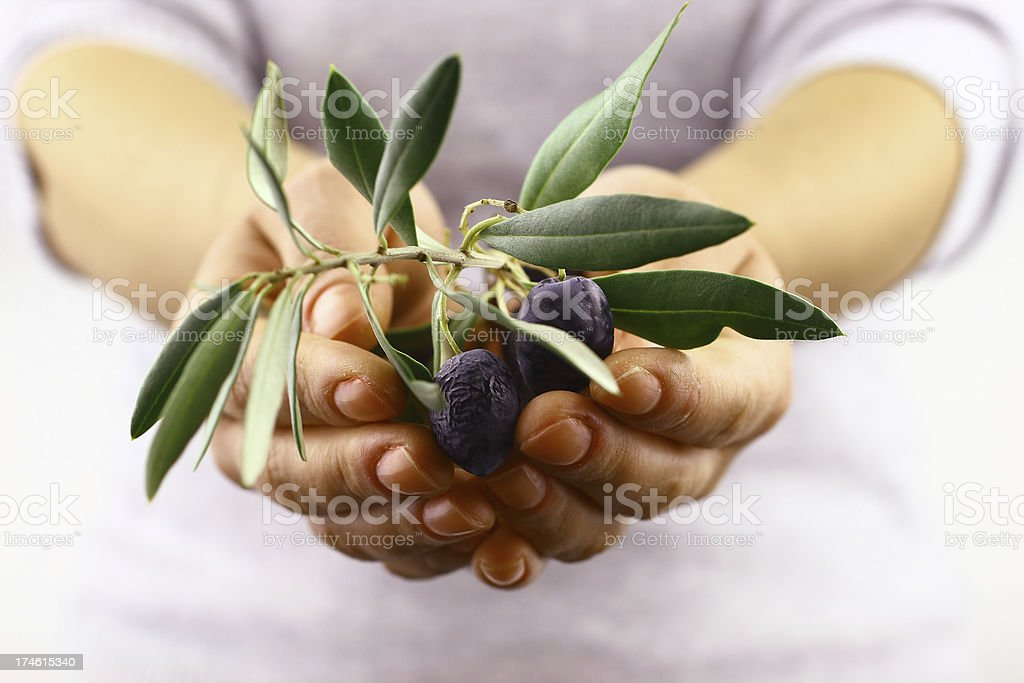 Olive branch in the hand stock photo