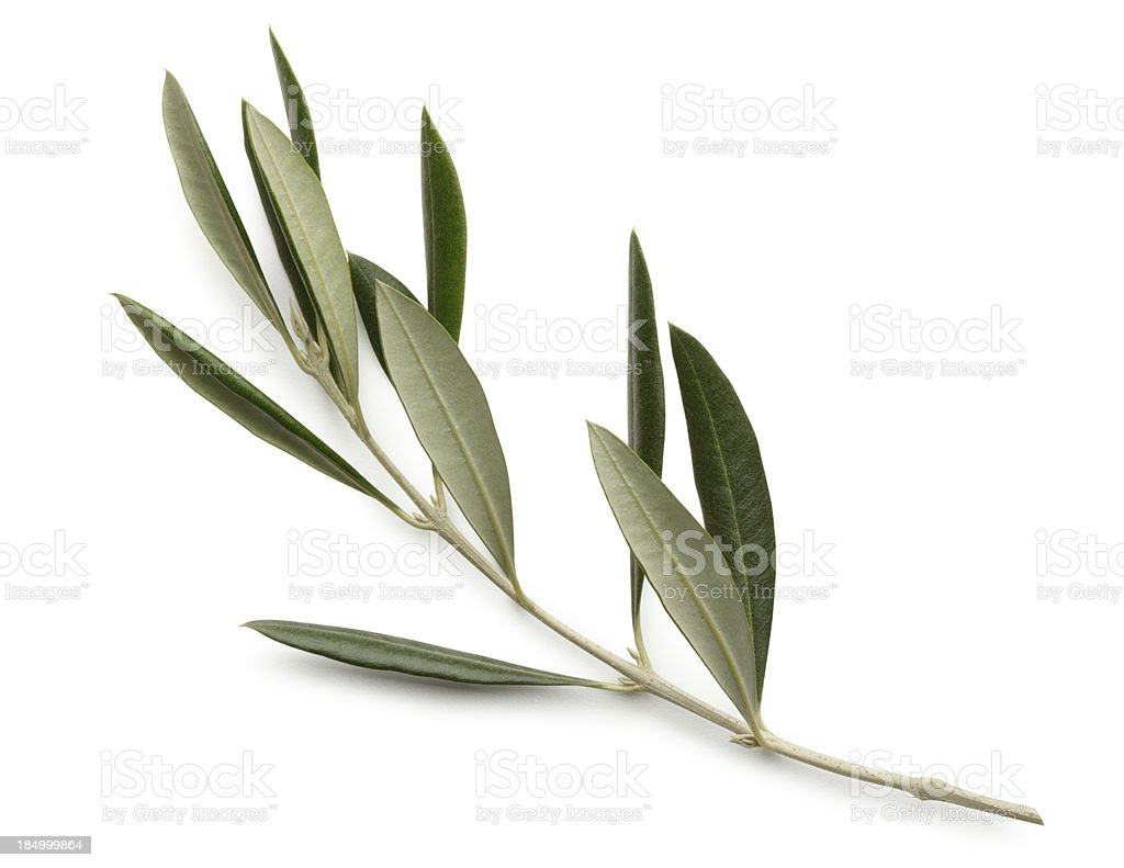 Olive Branch Isolated On White Background stock photo