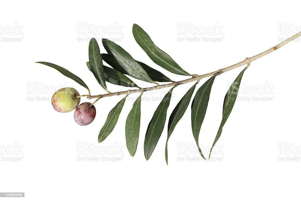 Olive Branch isolated over white stock photo