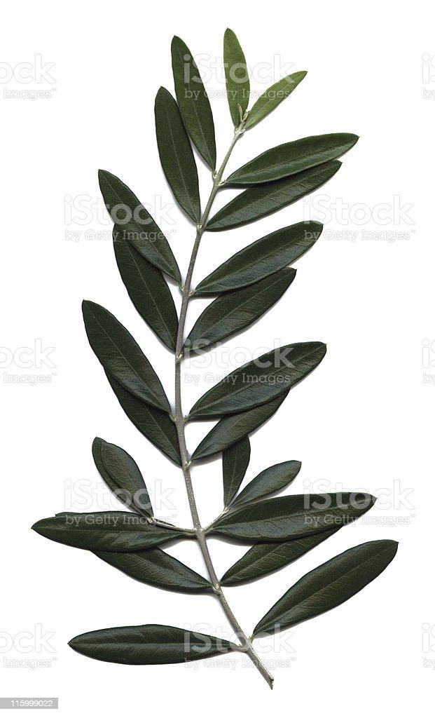 olive branch, Olea europaea royalty-free stock photo