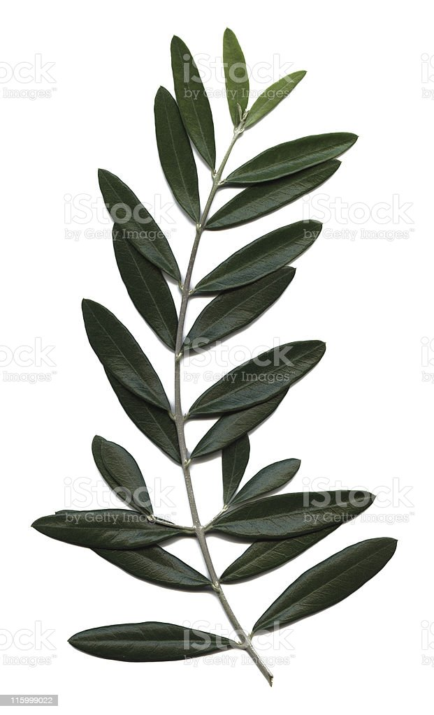 olive branch, Olea europaea stock photo