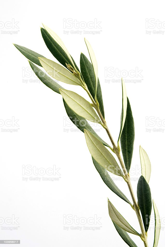 Olive branch on a white background stock photo