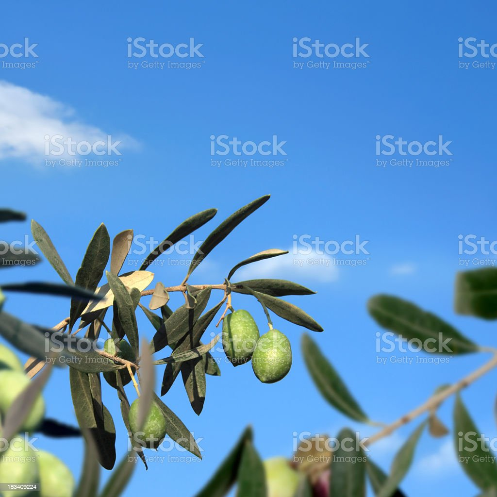 olive branch over clear sky royalty-free stock photo