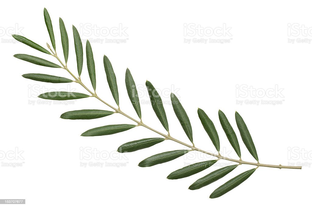 Olive branch. peace symbol stock photo