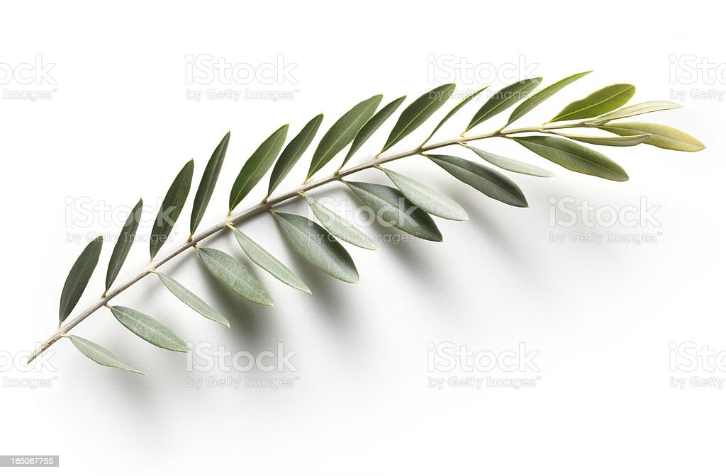 Olive branch. Peace Symbol. stock photo
