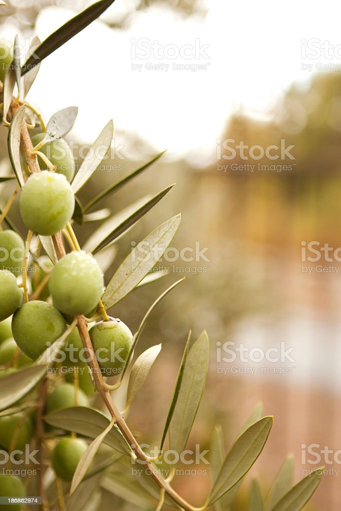 Olive Branch royalty-free stock photo